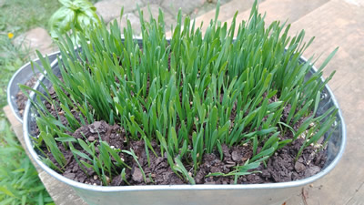 1 gallon galvanized bucket wheat grass garden